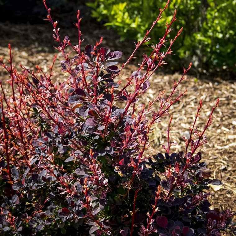 plantas jardin berberis oscuro llamativo ideas