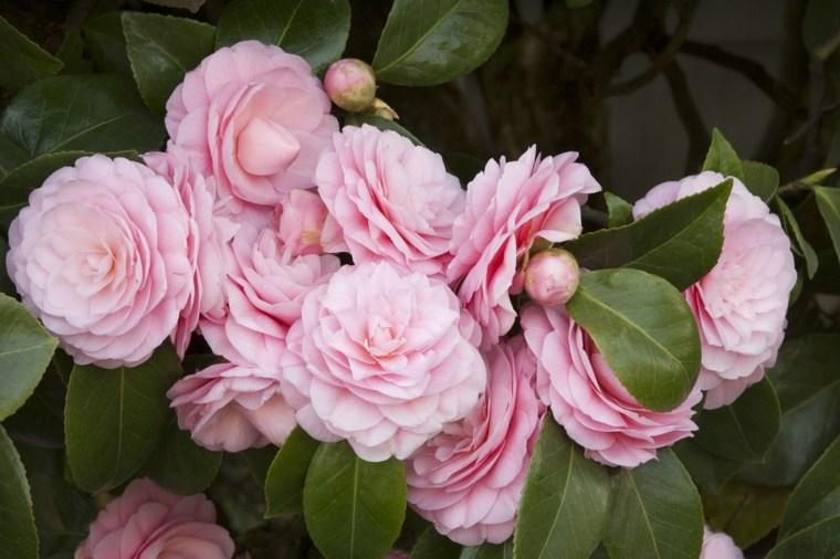 plantas jardin camelias rosa decorar ideas