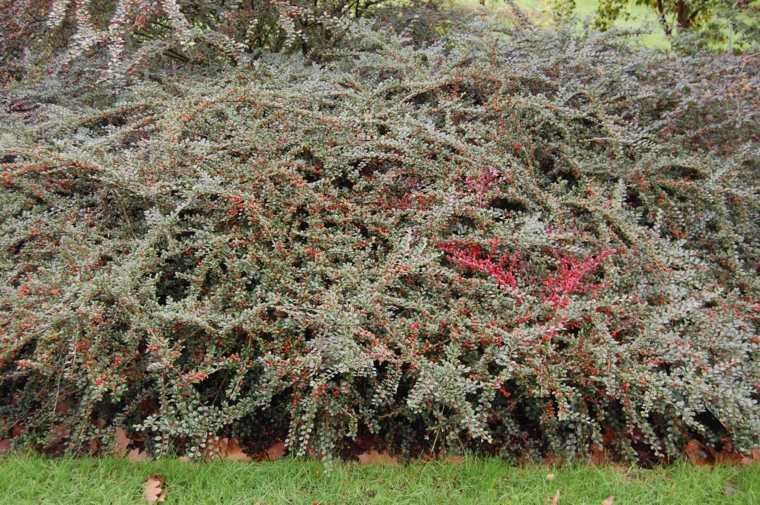 plantas jardin cotoneaster grande precioso ideas