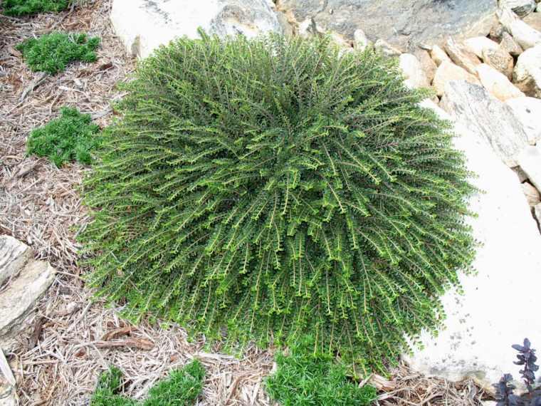 plantas jardin cotoneaster rodeado piedras ideas