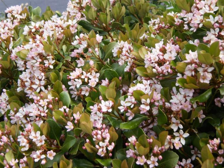plantas jardin jazmin paraguay arbusto ideas