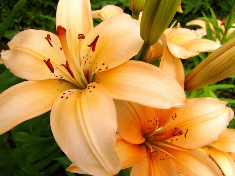 lirios amarillo flores sombra jardin moderno ideas