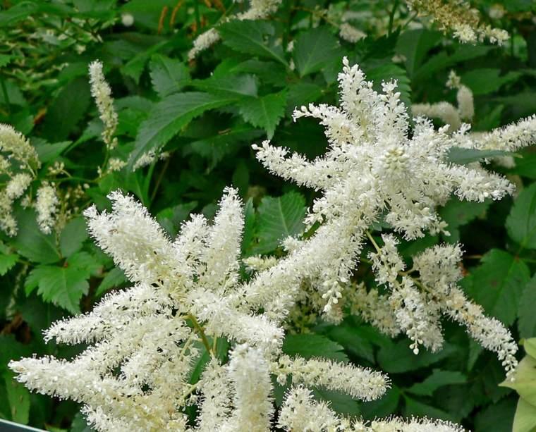plantas de sombra astilbe blanco jardin opciones flores sombra ideas