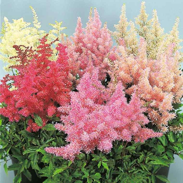 plantas de sombra astilbe distintos colores jardin moderno flores sombra