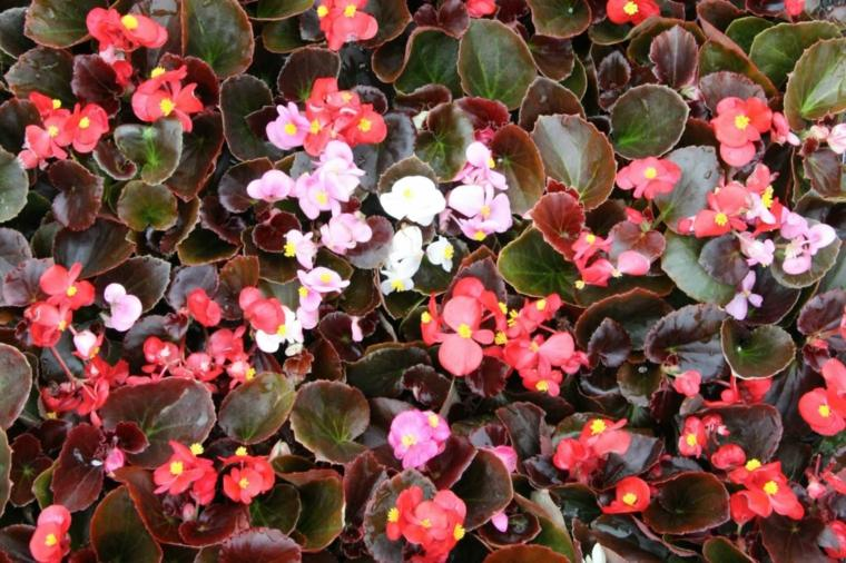 plantas de sombra begonia varios colores flores sombra ideas