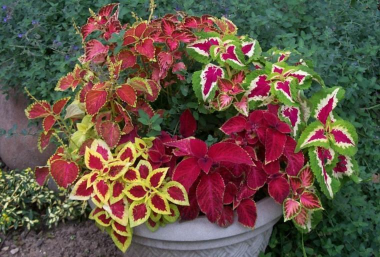 plantas de sombra ideas de coleos en macetas