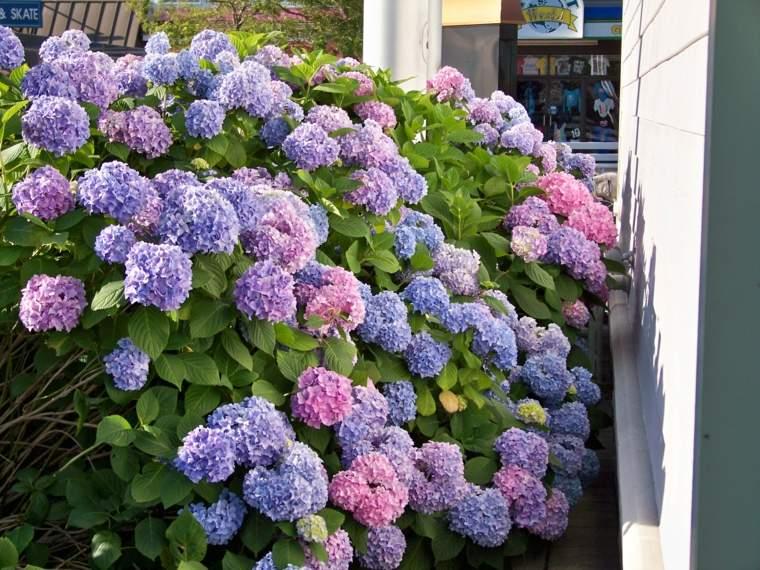 plantas de sombra hortensias jardin espacios sombra flores preciosas ideas