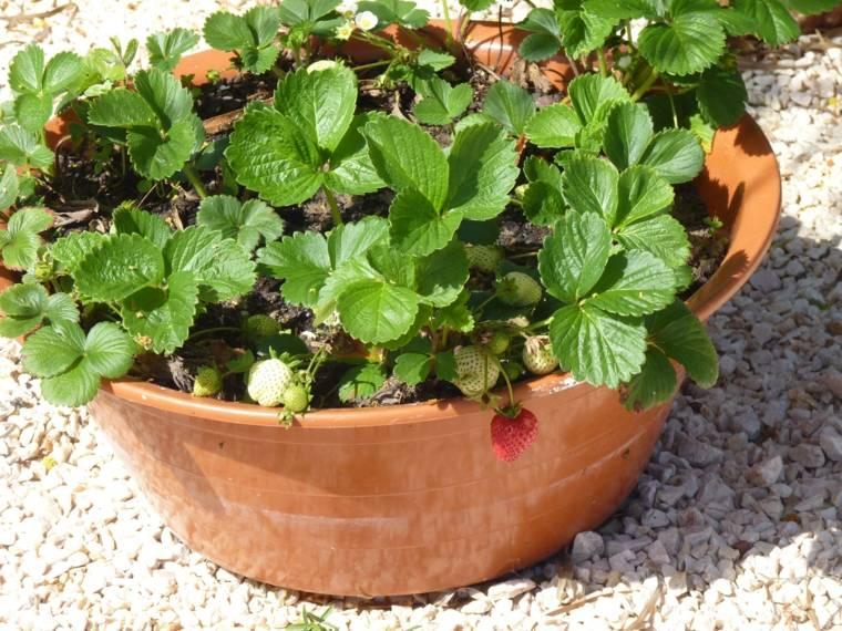 frutas y verduras cultivar macetas fresas ideas