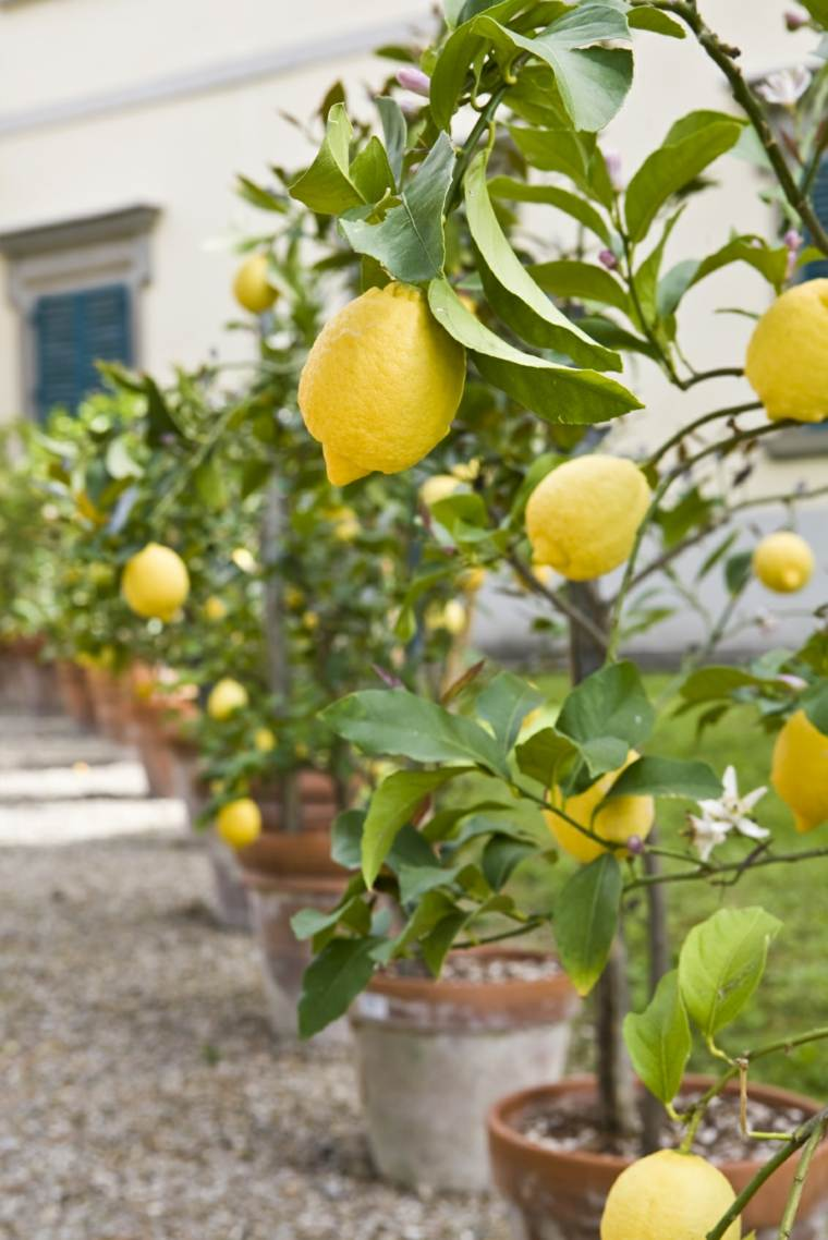 frutas y verduras cultivar maceta limon arbol ideas