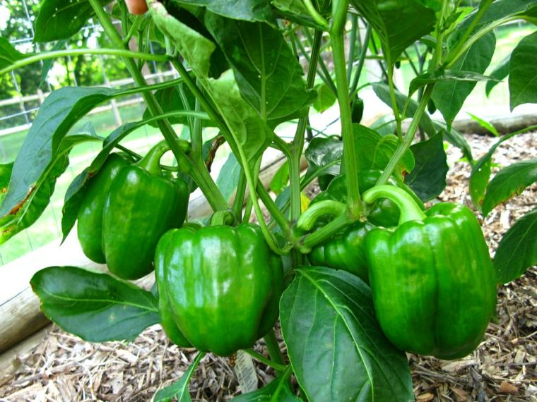 frutas y verduras cultivar macetas pimientos verdes ideas