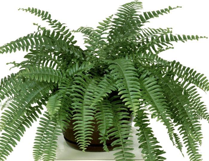 helecho comun plantas interior resistente ideas