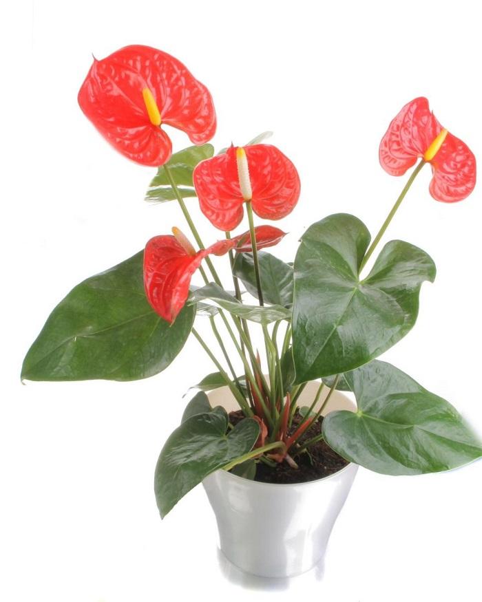 plantas de interior resistentes anturios rojos ideas
