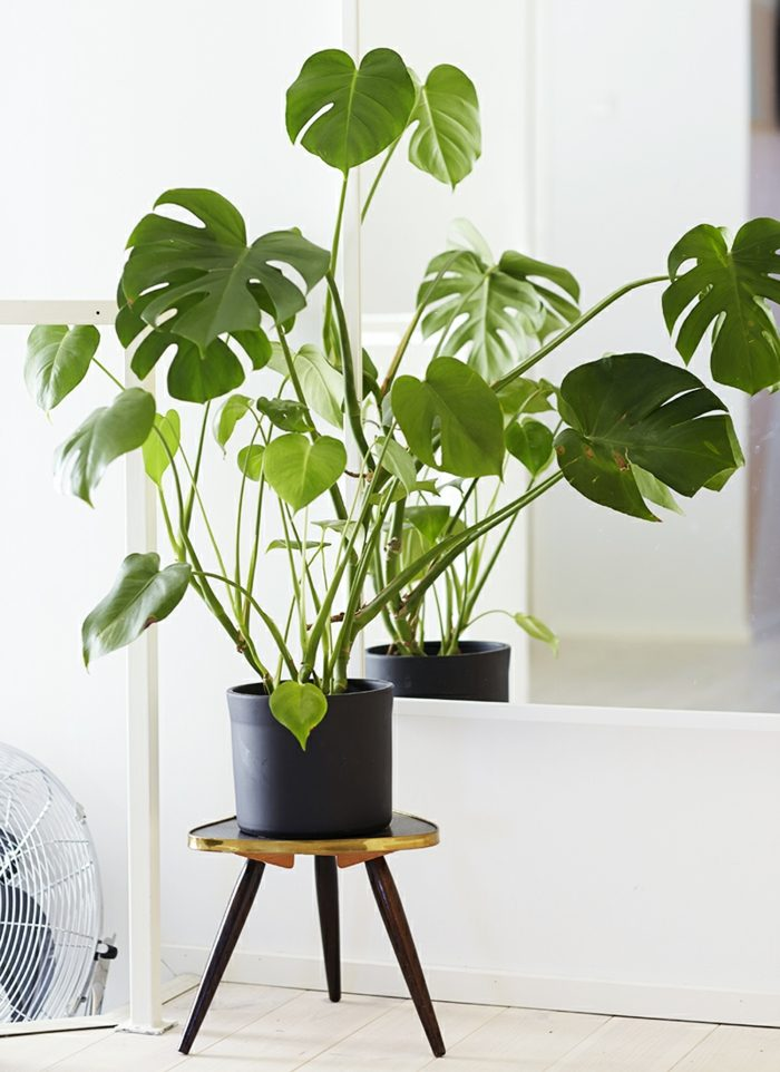 plantas de interior resistentes costilla de adam decorar casa ideas