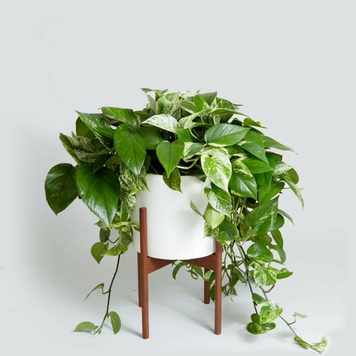 plantas interior resistentes potos planta ideas
