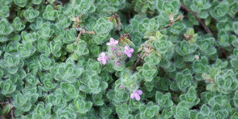 Is Oregano Safe For Small Dogs