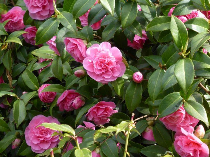 camelias floracion periodos muestras rosa
