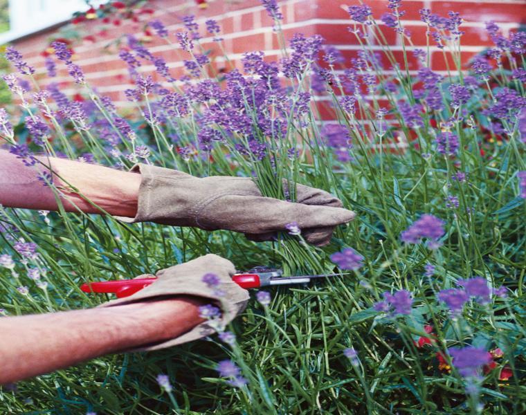consejos cuidados flores plantas lavandulas