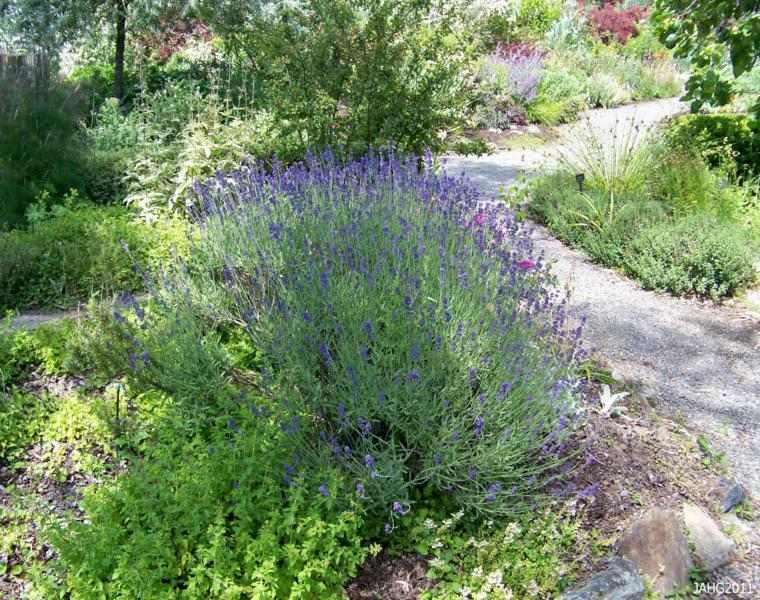 Lavanda consejos de cultivo y decoraci n de jardines for Lavanda cultivo o cuidados