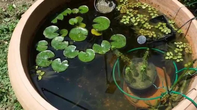 original fuente flores nenúfares loto