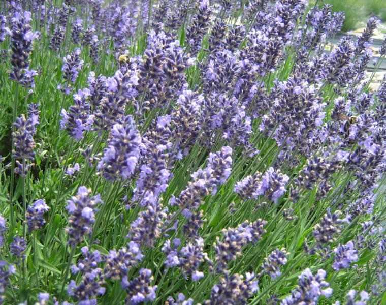 planta flores aromáticas color lila