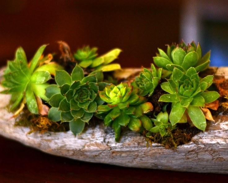 suculentas macetas decorar jardin opciones madera vieja tronco