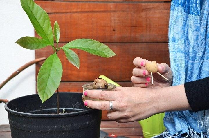 aguacate cultivo soluciones estilos atencion