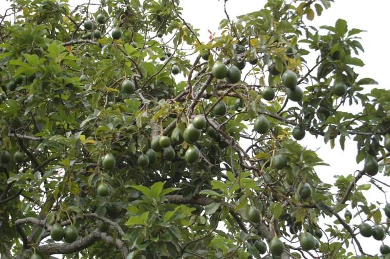 árbol grande muchos aguacates