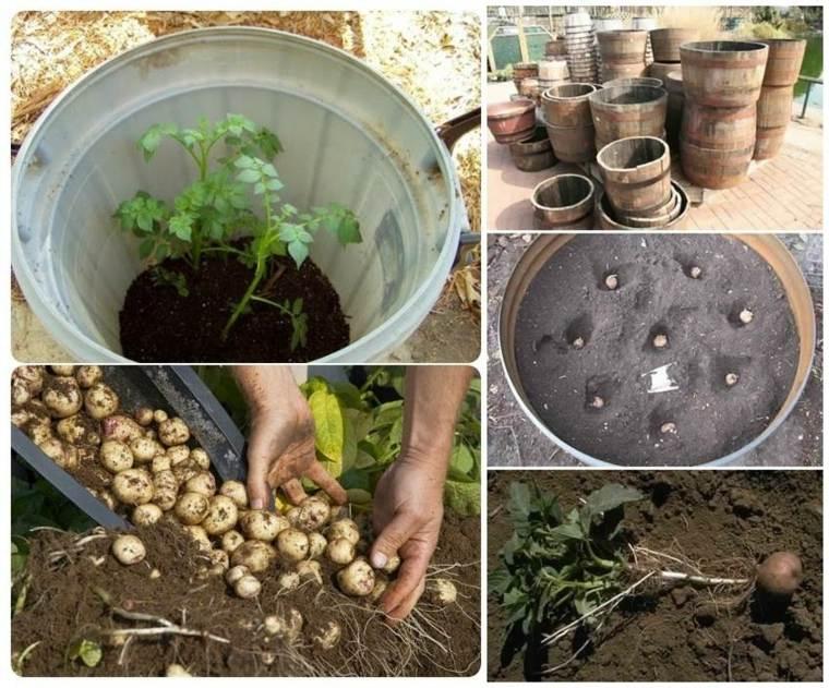 cómo cultivar patatas pequeñas barril casa