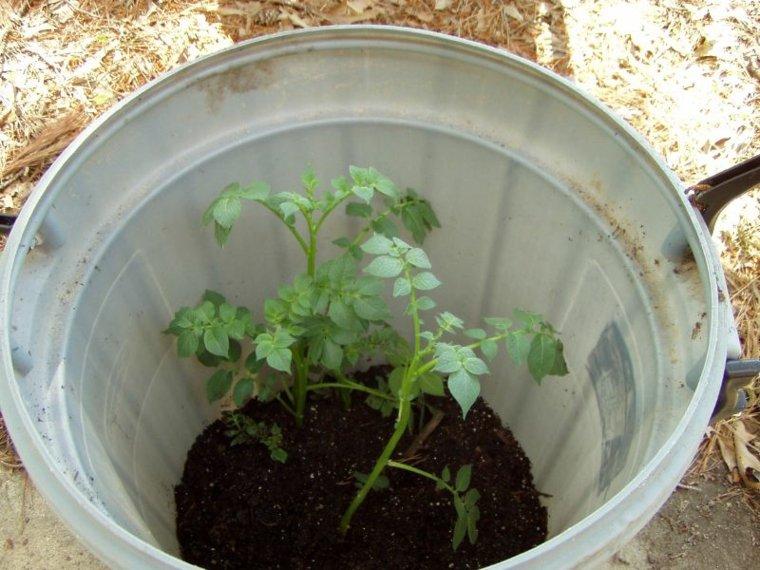 cómo cultivar patatas pequeñas barril grande