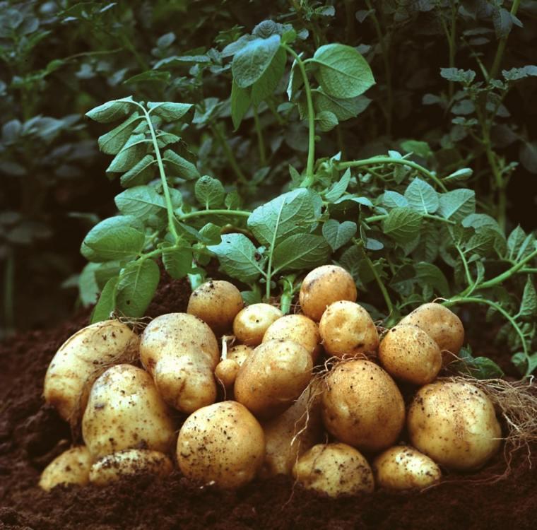 cómo plantar patatas barriles