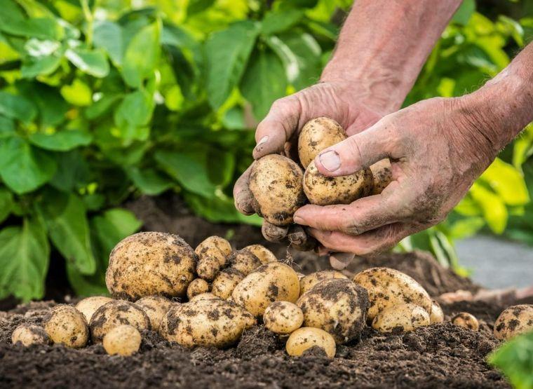 cómo se plantan las patatas