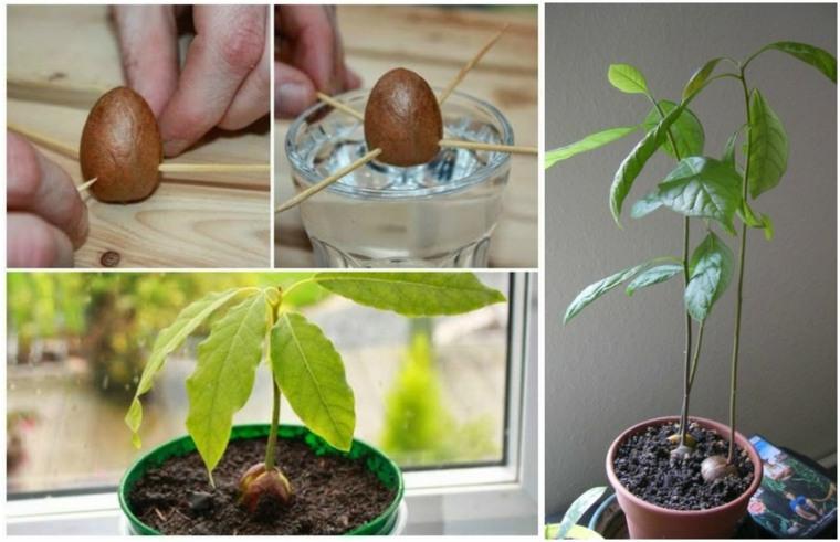 consejos hacer germinar semilla aguacate