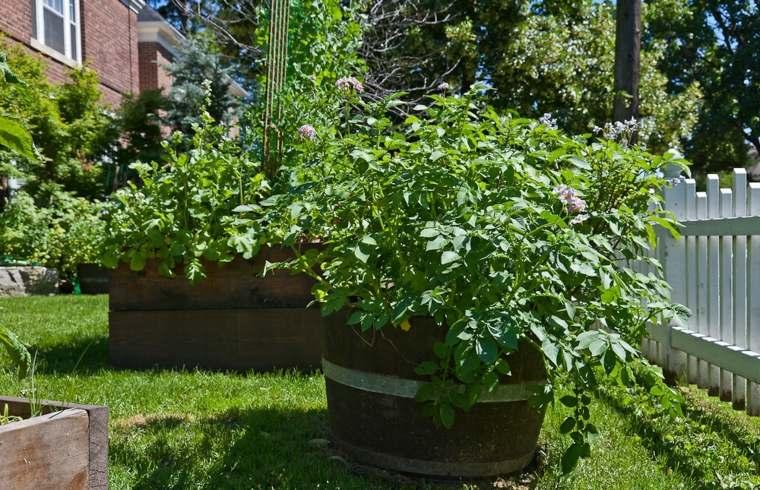 C mo cultivar patatas en un barril for Como cultivar patatas