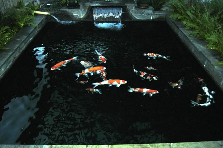 peces de agua dulce kio jardin estanque fuente ideas