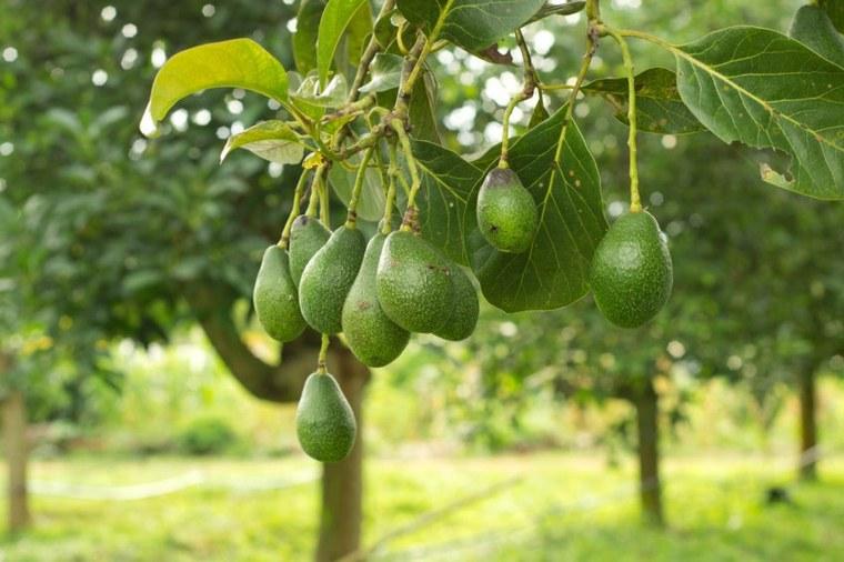 planta aguacate muchas frutas maduras