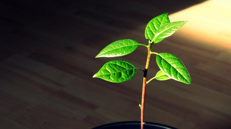 planta aguacate recien germinmada interior