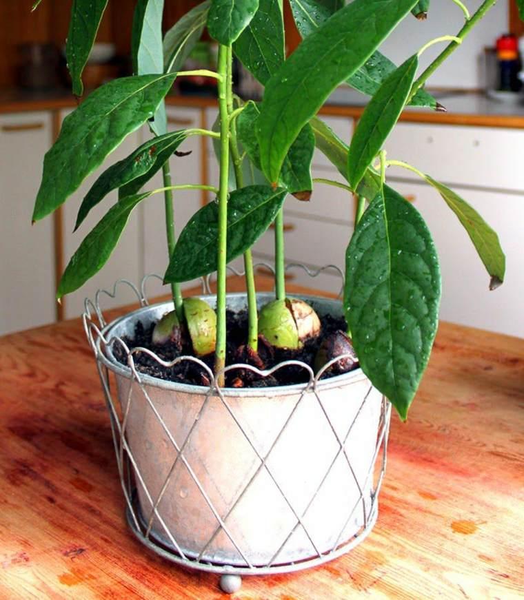 Aguacate consejos para cultivarlo en tu propio hogar - Plantar aguacate en casa ...