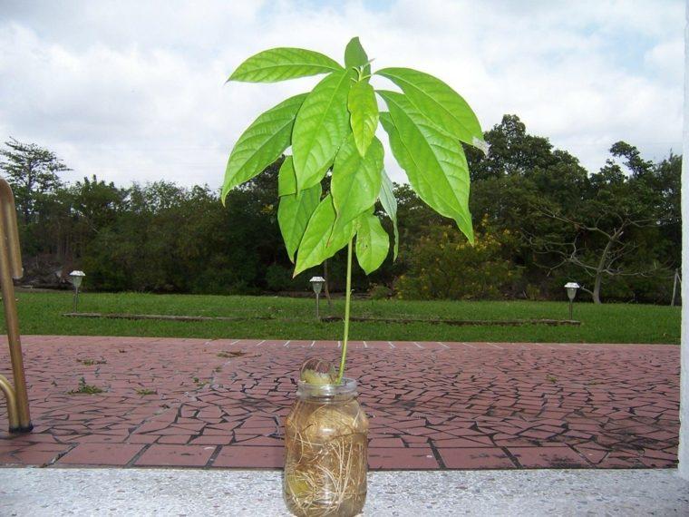planta de aguacate tarro