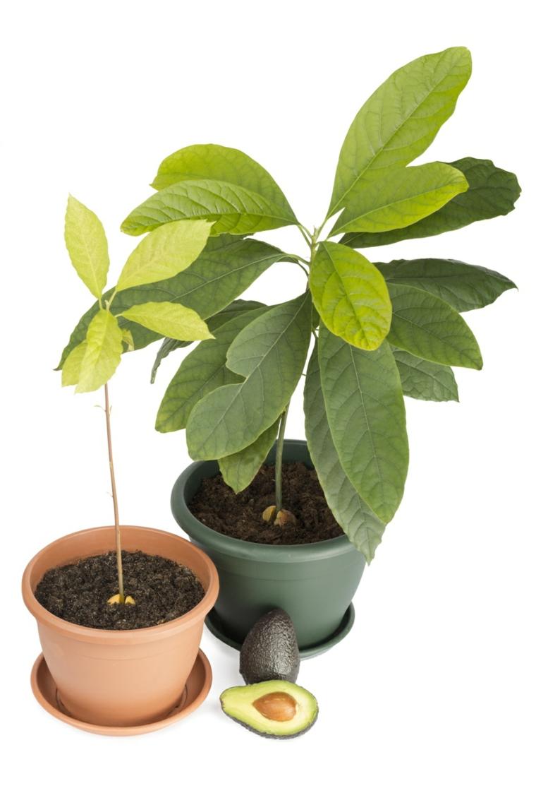 plantas aguacates macetas inrteriores