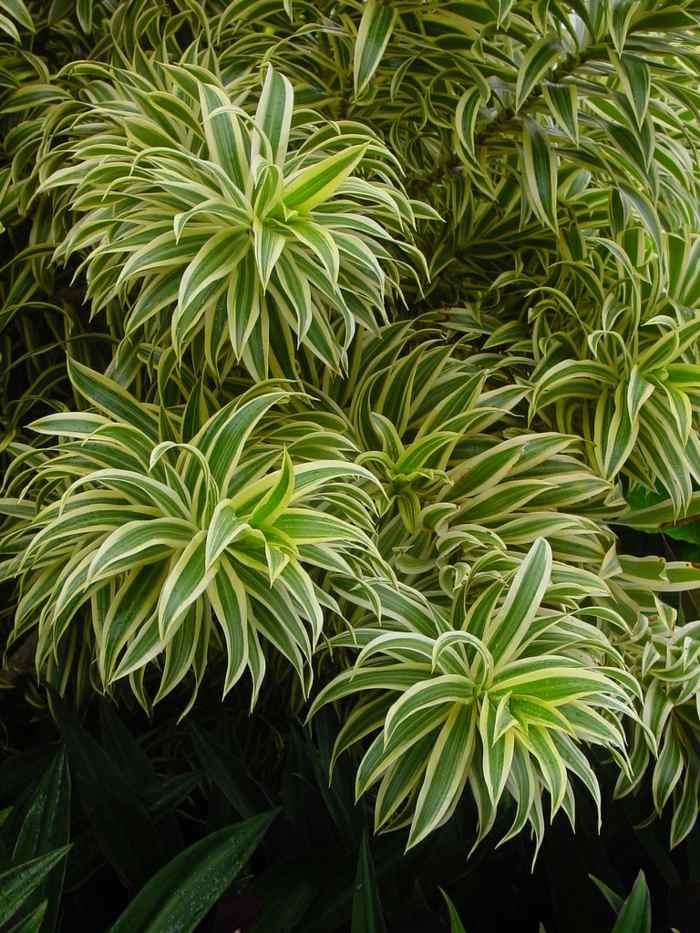 plantas-de-interior-resistentes-dracaena