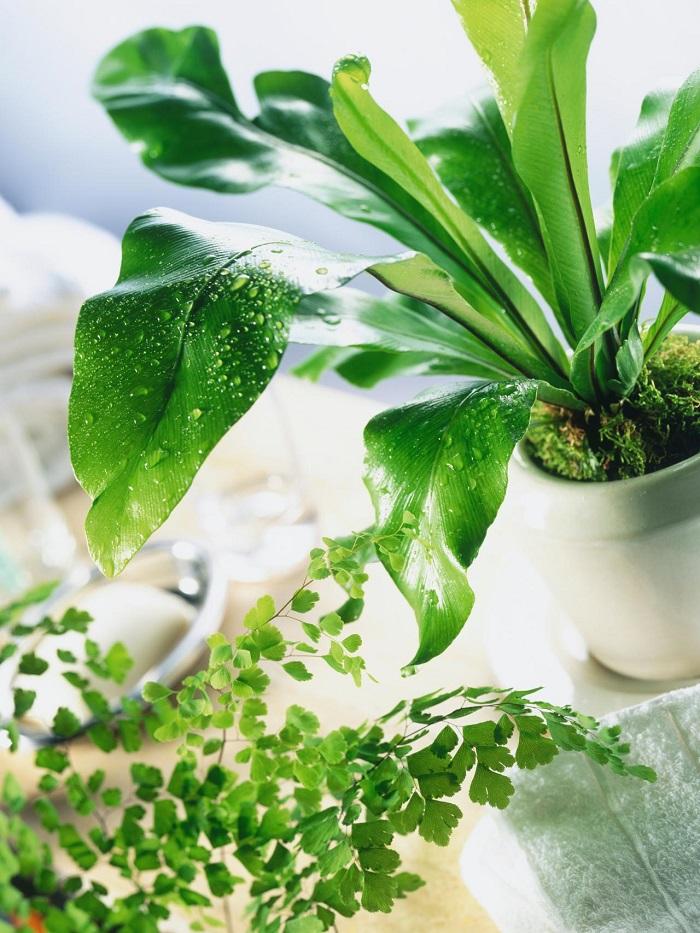 plantas-de-interior-resistentes-helecho-nido-de-ave