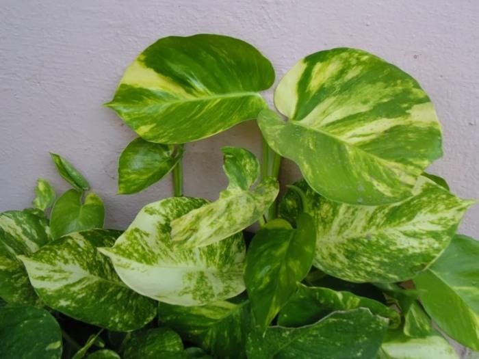 plantas de interior resistentes potos hojas verde amarillo ideas - Plantas Verdes De Interior