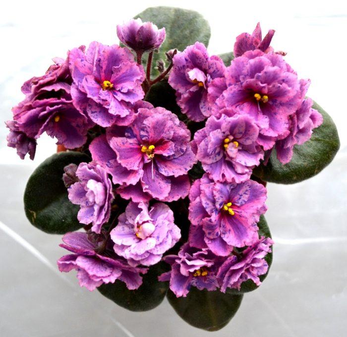 plantas de interior resistentes violetas africanas ideas