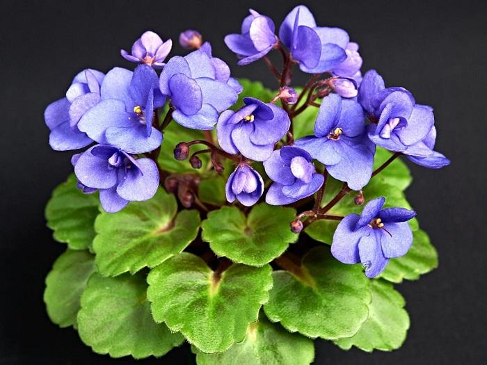 plantas de interior resistentes violetas ideas