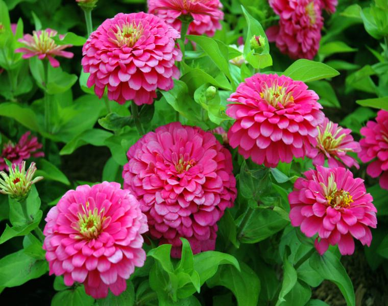estupendas flores Zinnia color rosa