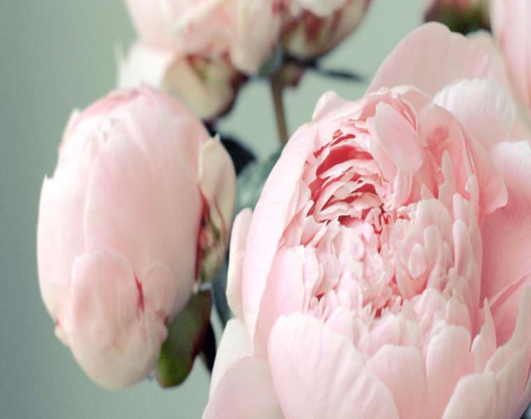 Peonías color rosa claro