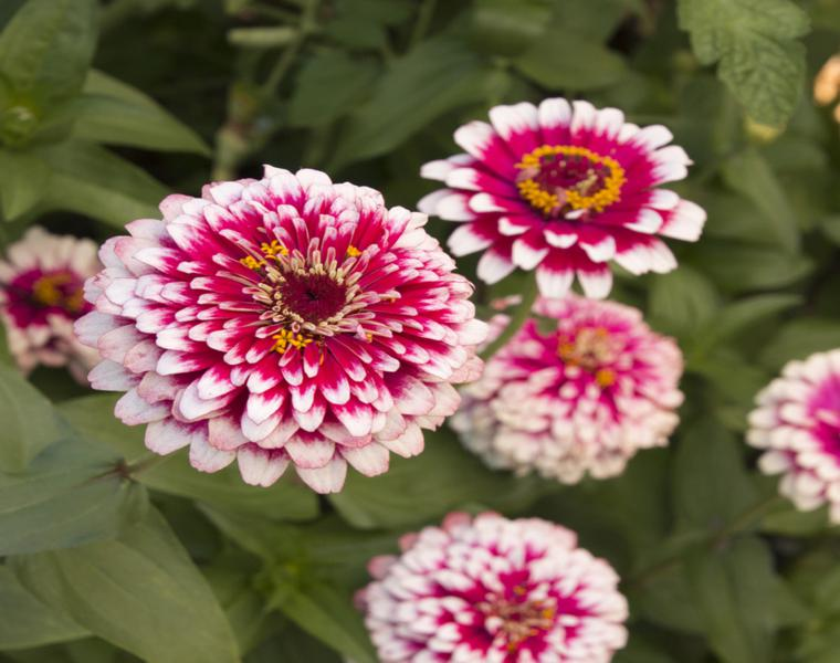 zinnia color rosa blanco claro