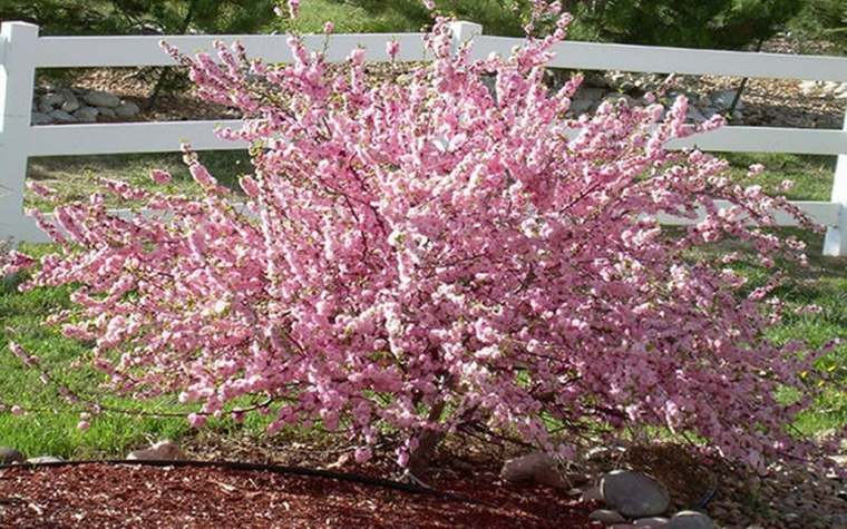 árboles de jardín rosas