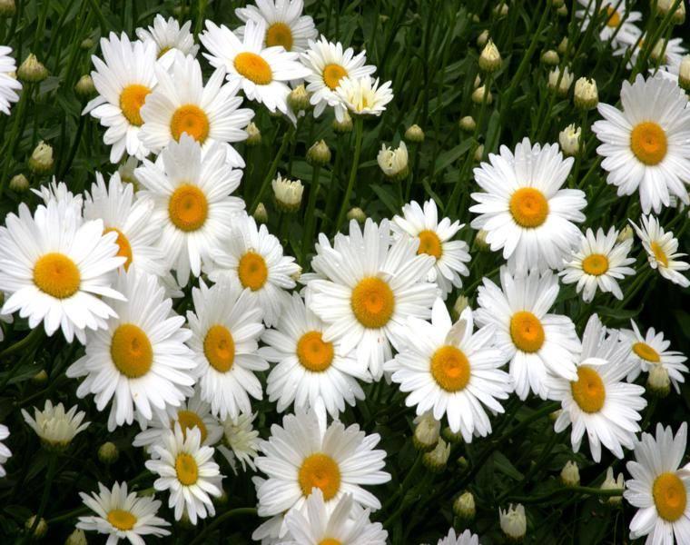 bonitas margaritas decorando el jardin