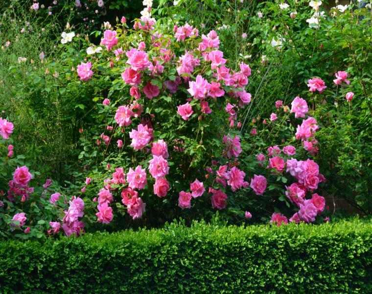 bonitas rosas silvestres arbusto